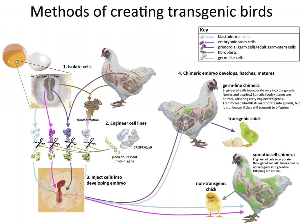 Methods_of_creating_transgenic_birds_WEB
